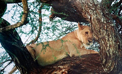Lejon i Tarangire Nationalpark