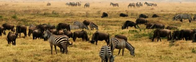 Zebror vid Ngorongoro Crater